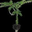 Hanfstecklinge, klein, 8 bis 12 cm