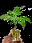 Grape Smash Limited Edition - dark horse genetics / Hanfpflanzen