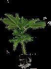 Pineapple Dynamite Ltd. von Lineage genetics / Hanfpflanzen
