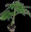 Black Domina von Sensi seeds / Hanfstecklinge