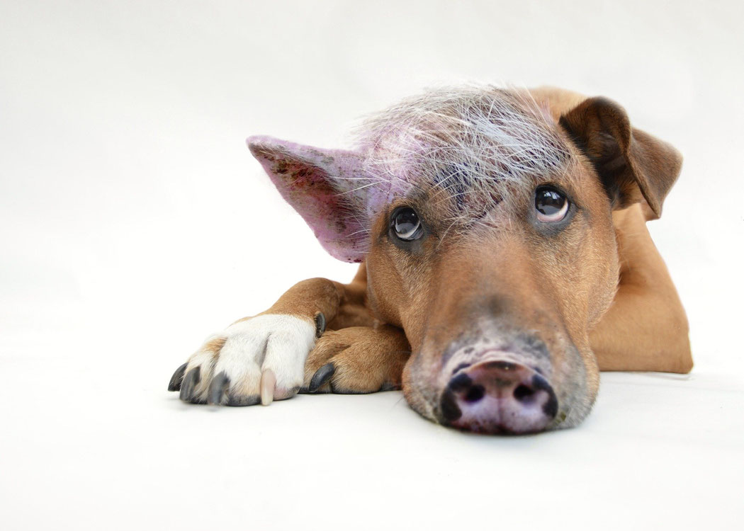 Bild zeigt einen Schweinehund, der dich abhält, deine Ziele zu erreichen