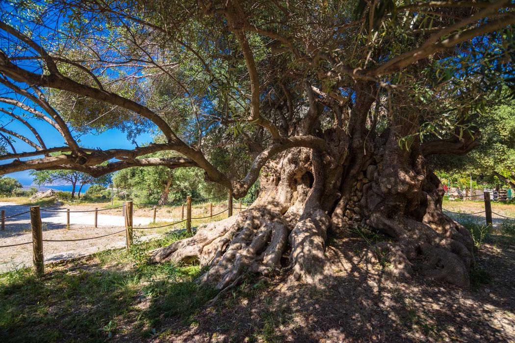 Der älteste Olivenbaum auf der Welt befindet sich auf Kreta
