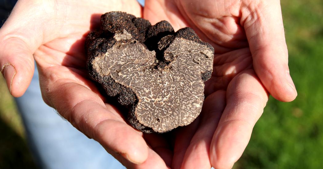 Truffe noire de Touraine - Tuber melanosporum - Chinon - visite - tourisme - terroir