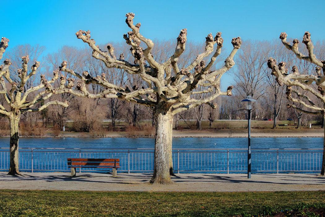 Knorrige Bäume am Rheinufer in Worms - Winter © Jutta M. Jenning mjpics
