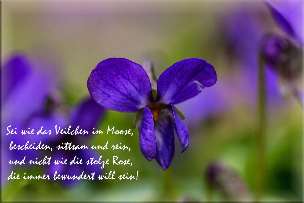 Spruchkarte-Zitate-Poesie-Sei wie das Veilchen im Moose...