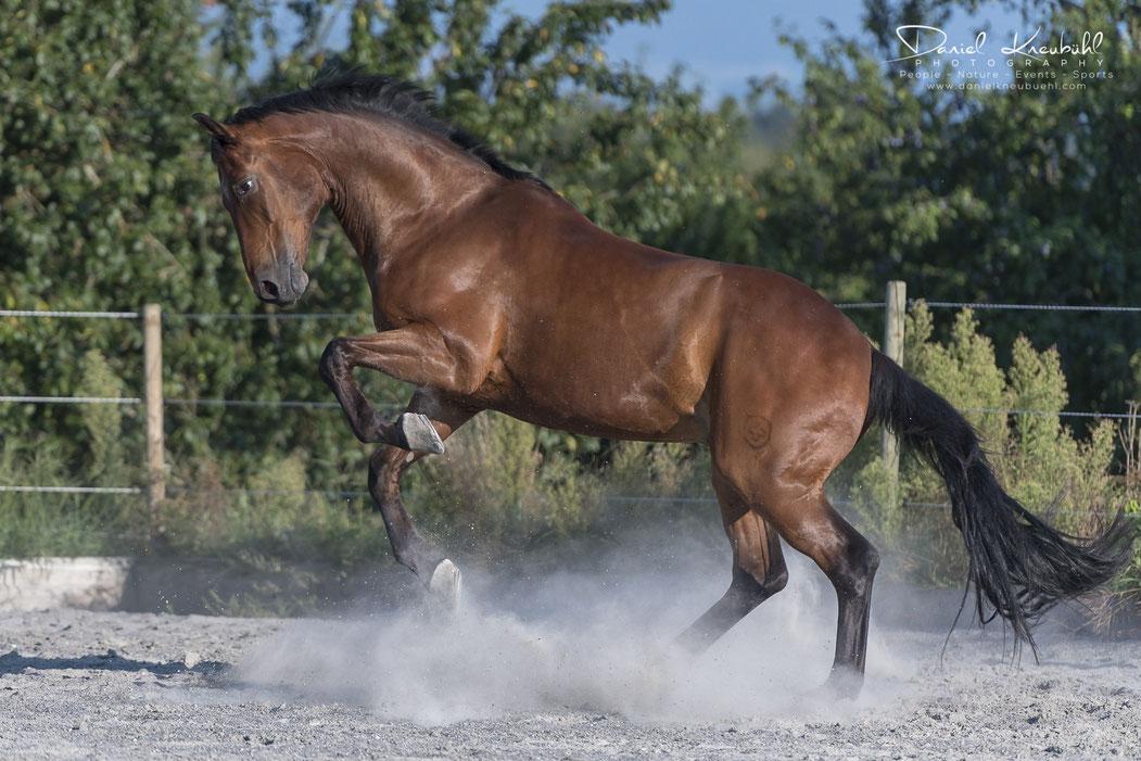 Fairplay, Schweizer Warmblut Pferd, Cornelia Falkenberg, Nicole Goetschi, Traumprinz, Pferde, Horse, Photographer/Fotograf: Daniel Kneubühl, www.danielkneubuehl.com