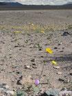 Die Wüste blüht