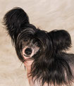 Китайская хохлатая собачка