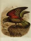 Keulemans, John Gerrard 1842-1912 :Kea parrot. Nestor notabilis. [Plate XVIII. 1888].