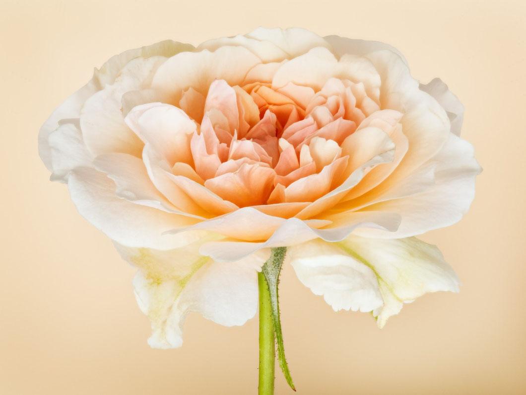 Englische Rose, Perdita