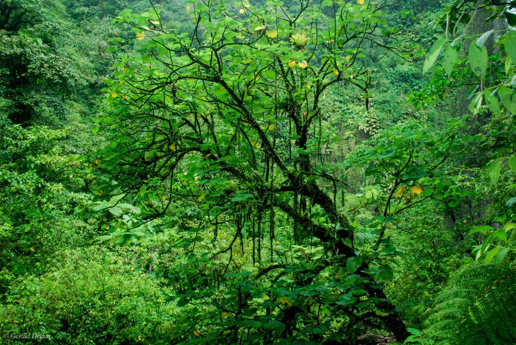 Au pied de la dernière chute du Carbet à la Guadeloupe, le tronc noir de cette arbre penché se détache du vert tropical dominant