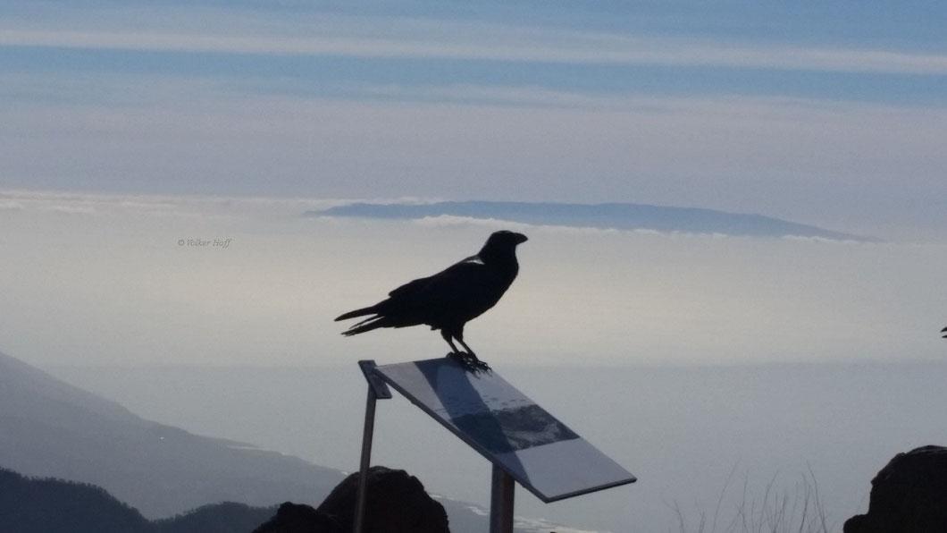 Im Hintergrund: La Gomera, im Vordergrund der zahme und bekannte Kolk-Rabe Carmelo
