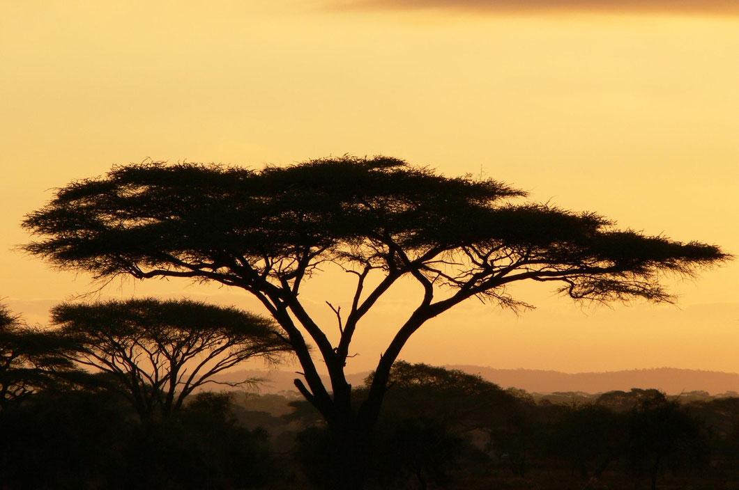 Schirmakazien im Sonnenaufgang im Amboseli NP - charismatischer kann Afrika nicht sein