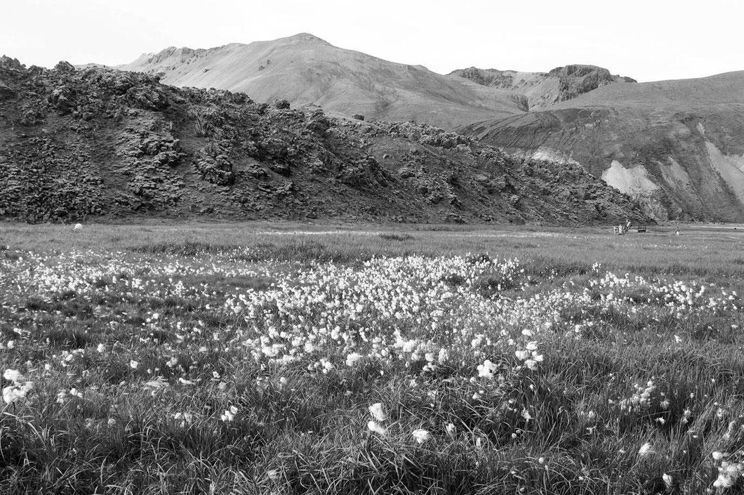 Im Sommer sind die kargen Wiesen von Wollgras überzogen, eine der wenigen Pflanzen, die ich auf Island (neben vielen Moosen) überhaupt gesehen habe.