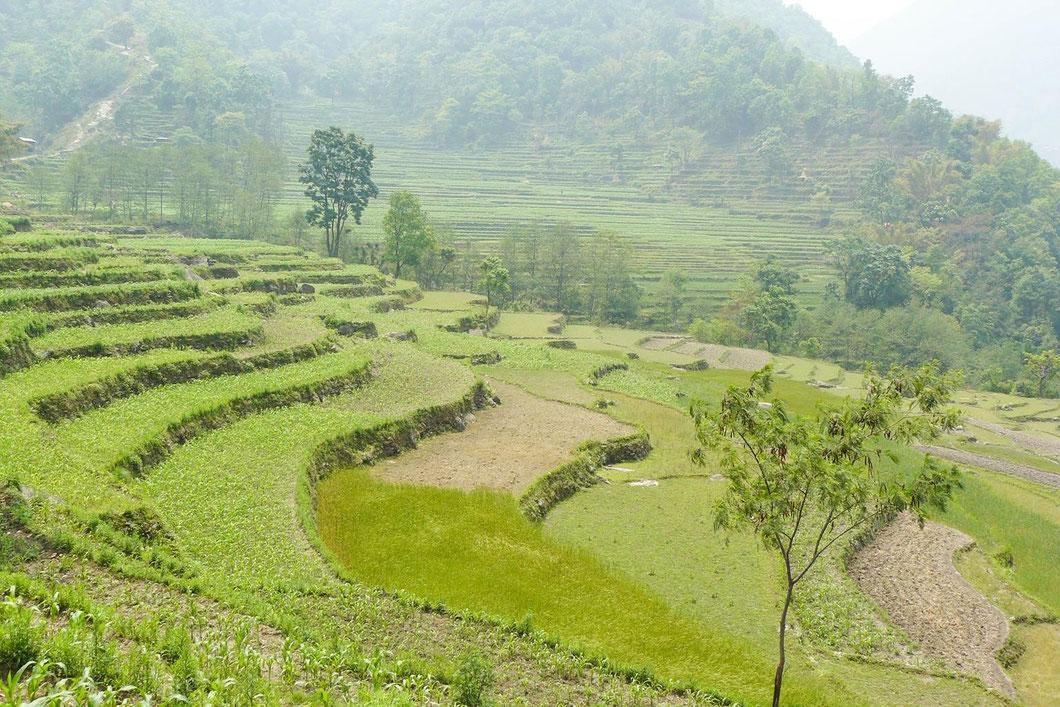 Nepal, Annapurna, Trekking, Reisterrassen
