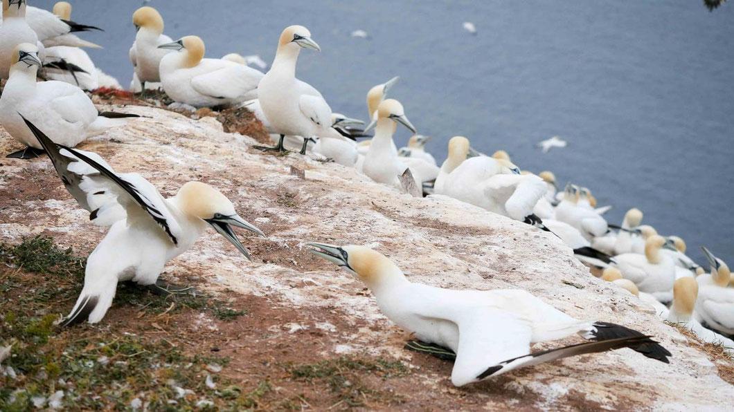 Helgoland - An den Vogelfelsen brüten, jagen und streiten sich die eleganten Basstölpel.