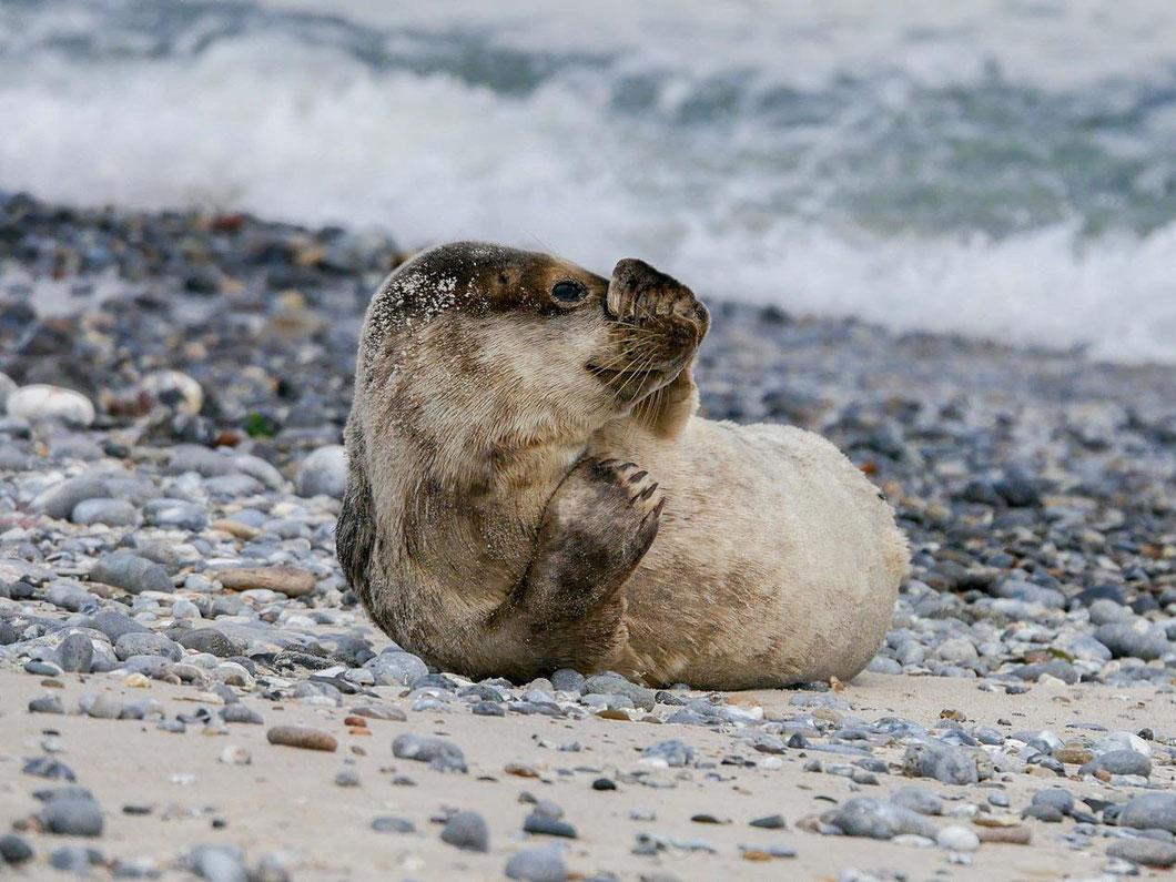 Helgoland - Seehunde kommen hier sehr zutraulich an den Strand und beobachten die seltsamen Besucher auf zwei Beinen.