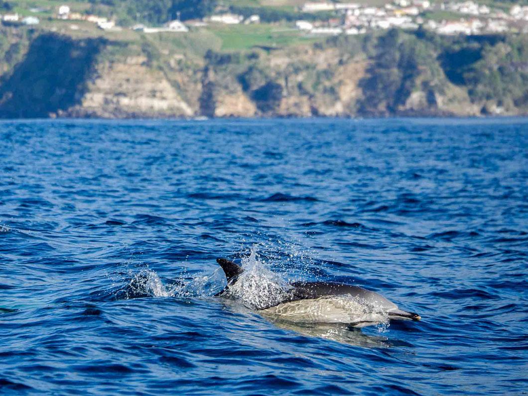 Gewöhnlicher Delphin vor der Steilküste in der Nähe von Vila Franca do Campa
