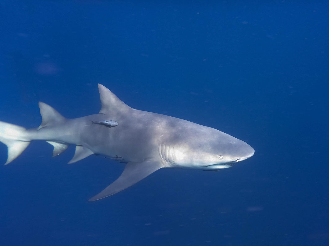 Zitronenhaie beim Haischnorcheln