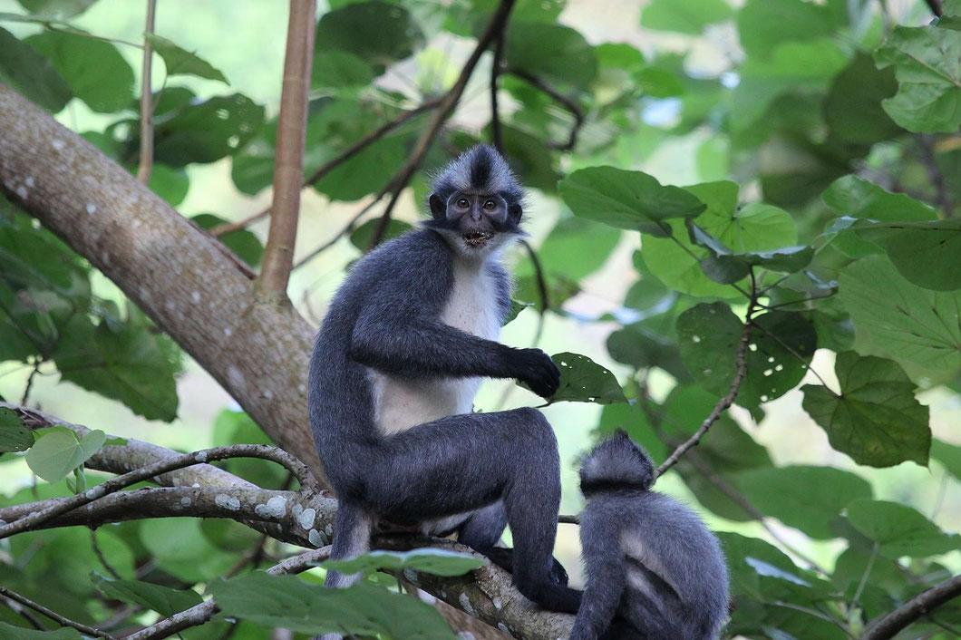 Thomas Leaf Monkey - Gruppen mit bis zu 12 Tieren ziehen morgens auf Futtersuche durch das Dorf