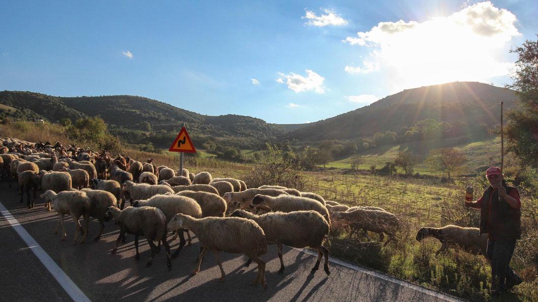Hier haben Schafe Vorfahrt - Landstraße in Thessalien