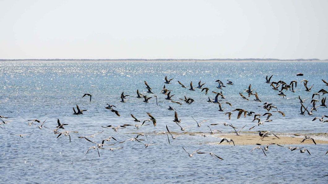Watvögel im Ria Formosa NP