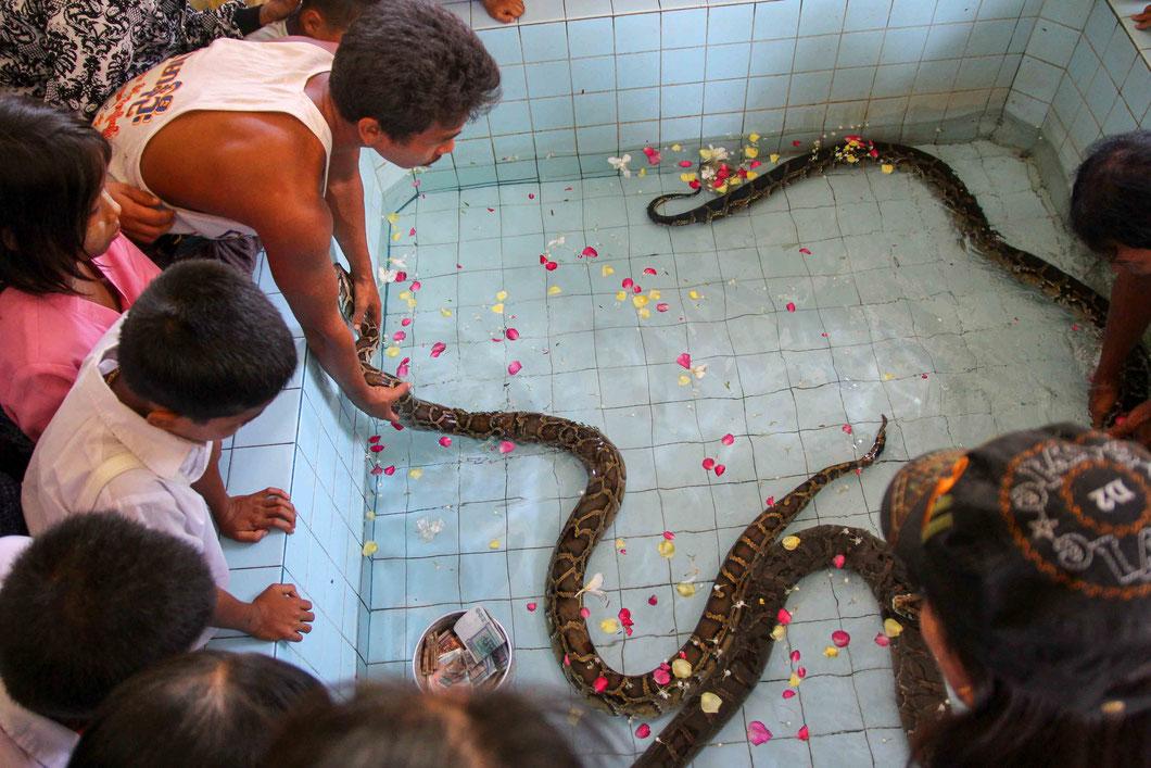 Pythontempel bei Mandalay - Die drei Pythons gelten als heilig und gegen eine Spende darf man sie füttern, was für die Menschen eine Art Segnung ist.