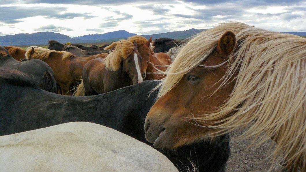 Islandpferde stellen sich in den kalten Winden eng aneinander