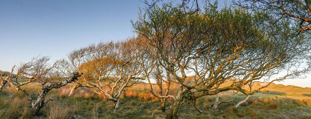 Norderney - in den Dünen wachsen die kargen Bäume wie der Wind es ihnen erlaubt.