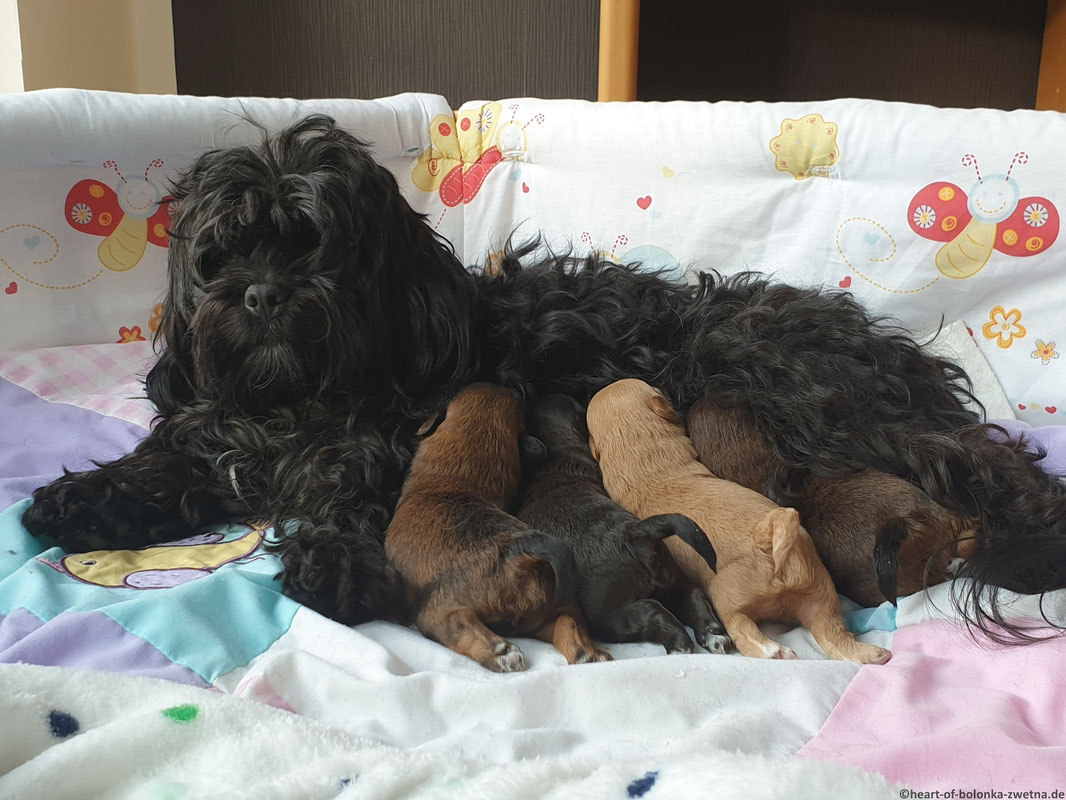 Vl.: Gracie, Guinness, Giotto und Geordie Heart of little Paws mit Mama Carlotta