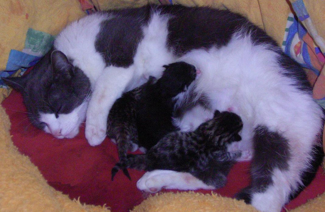 Katzengeburt:immer wieder ein Erlebnis. Katze Gusti mit 4 Welpen.