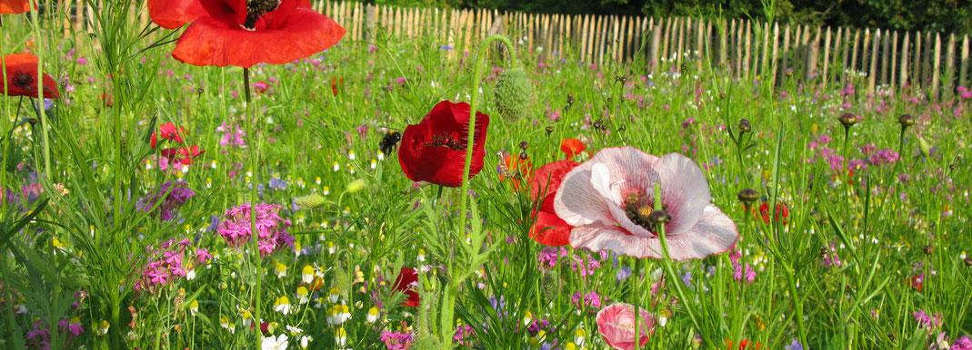Eine bunt blühende Blumenwiese mit Mohnblumen und Hummel im Vordergrund