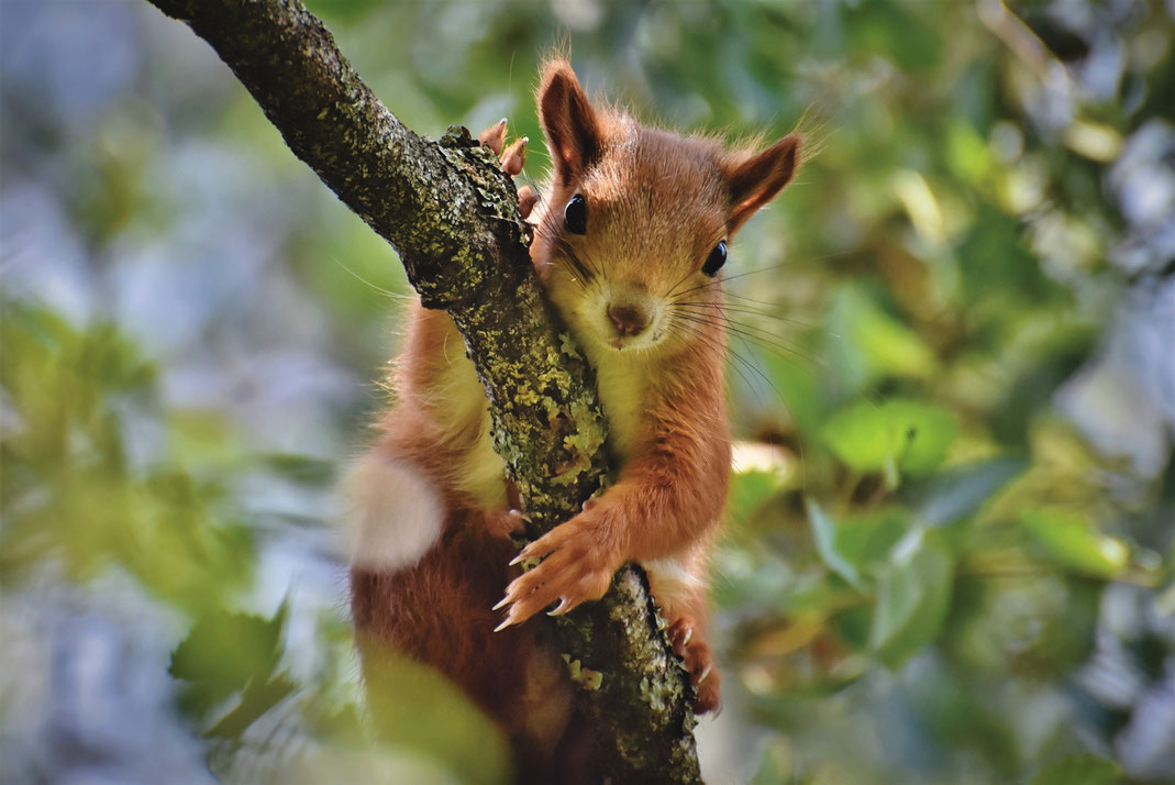 Eichhörnchen in Not_sie brauchen uns_Eichhörnchen auf einem Ast