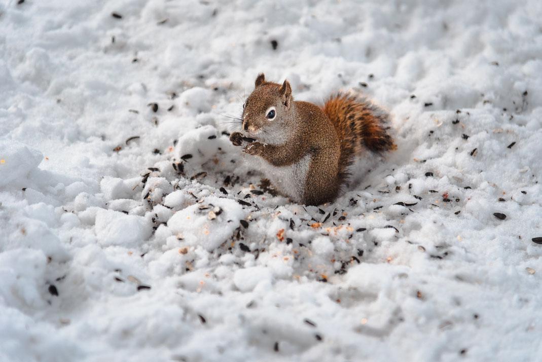 Eichhörrnchen frisst im Schnee Sonneblumenkerne