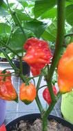 Trinidad Scorpio: Rote,laternenförmige Früchte. Foto Bio Gärtnerei  Kirnstötter