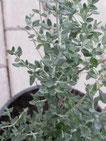 Katzengamander, silbergraue, kleine Blätter. Foto Kirnstötter