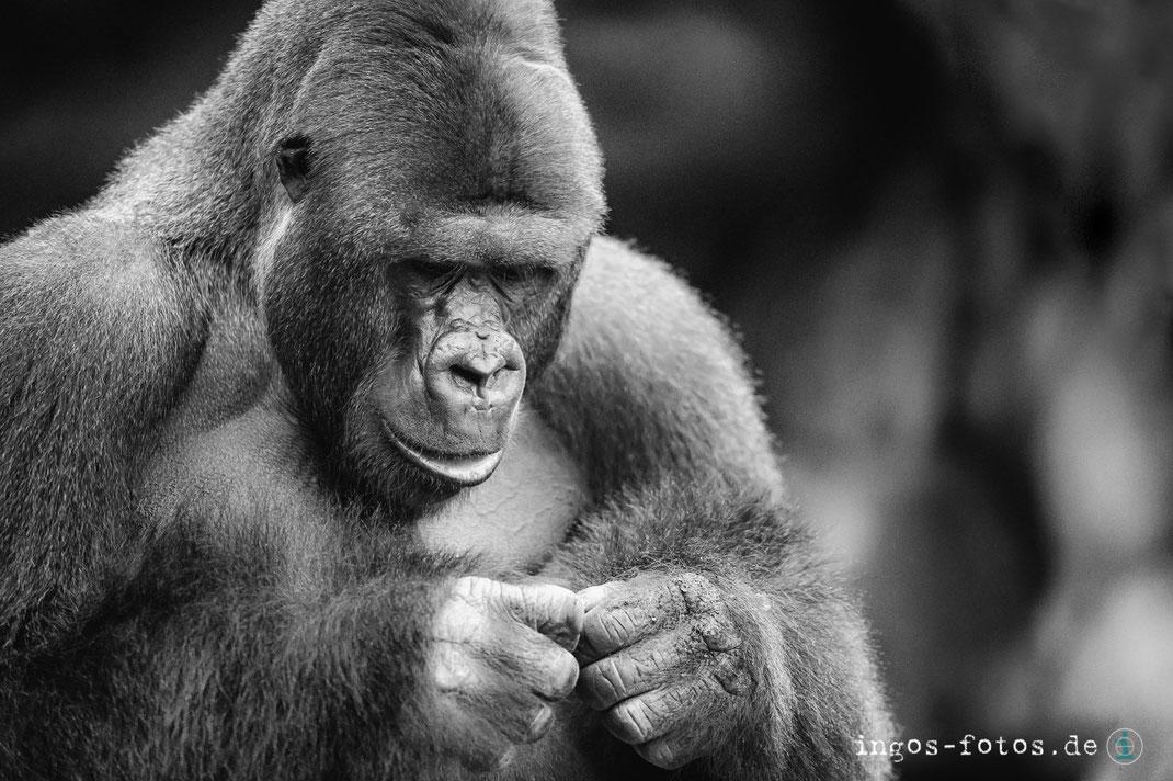 ingos fotos, Gorilla Viatu, Silberrücken, Zoo Frankfurt