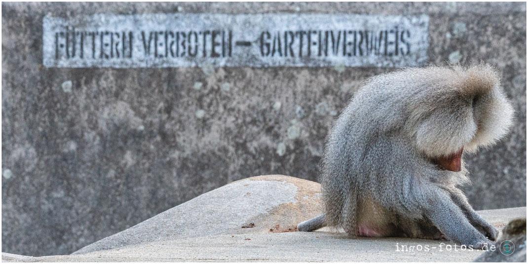 ingos fotos, Zoo Frankfurt, Pavian