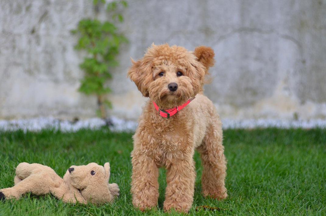 Minidoodle Schnoodle Minischnoodle Doodle Hybriddog Hybridhund