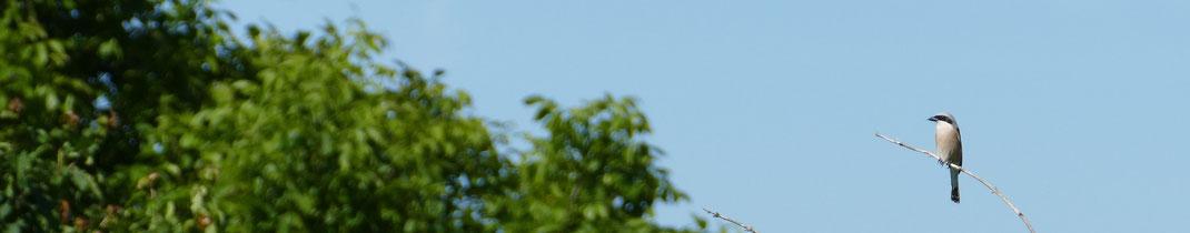 Der Neuntöter ist dank einer gepflanzten  Dornenhecke wieder zurück