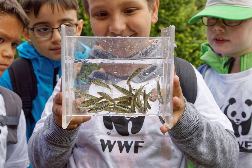 Schülerinnen und Schüler haben am Magdenerbach (AG) 3900 junge Lachse ausgesetzt. Begleitet wurden sie von Fachleuten des Kantons Aargau, von Fischern des Fischereivereins Magden sowie dem WWF Schweiz.