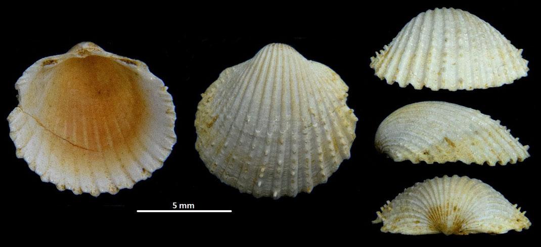 Cardium cfr. leognanense, Miocene dell'Aquitania