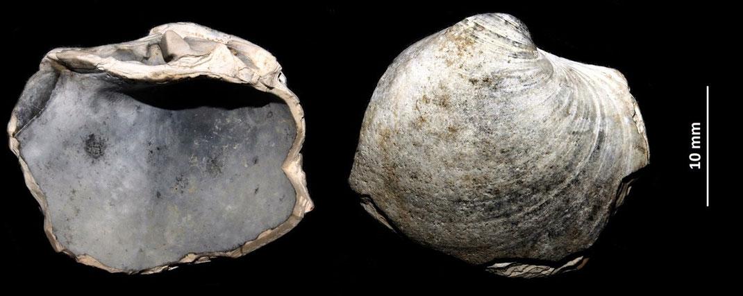 Arctica islandica dal Pleistocene del torrente Stirone