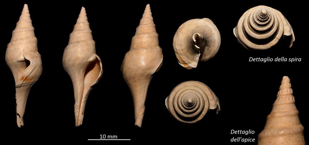 Clavatula carinifera, Miocene del bacino dell'Aquitania