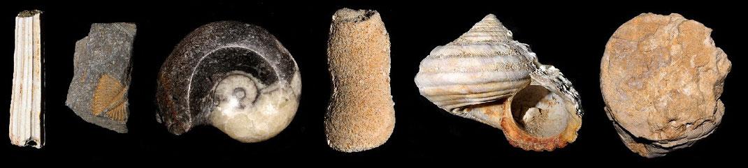 Da sx verso dx: uno scafopode (mollusco); un trilobite (artropode); un ammonite (mollusco); un corallo (cnidario); un gasteropode (mollusco); un riccio di mare (echinoderma).