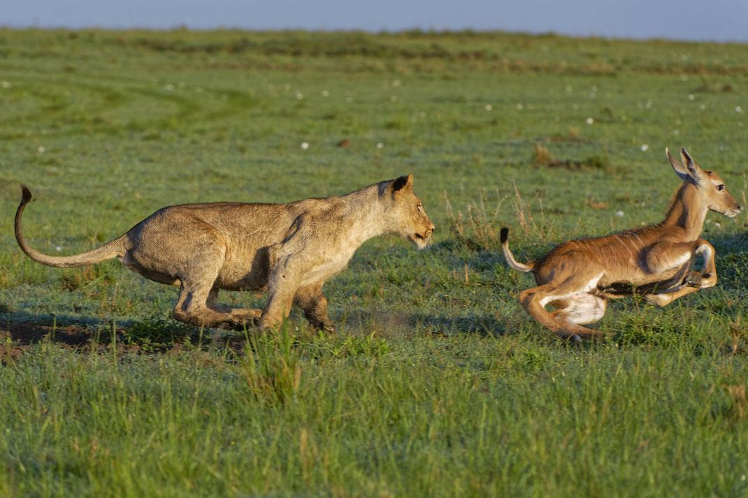 Löwen Jagd Masai Mara, Kenia