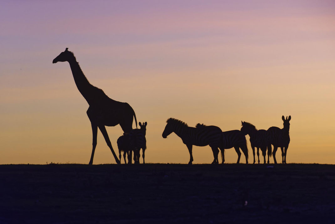 Giraffen in Kenia, Fotosafari gemeinsam mit Uwe Skrzypczak