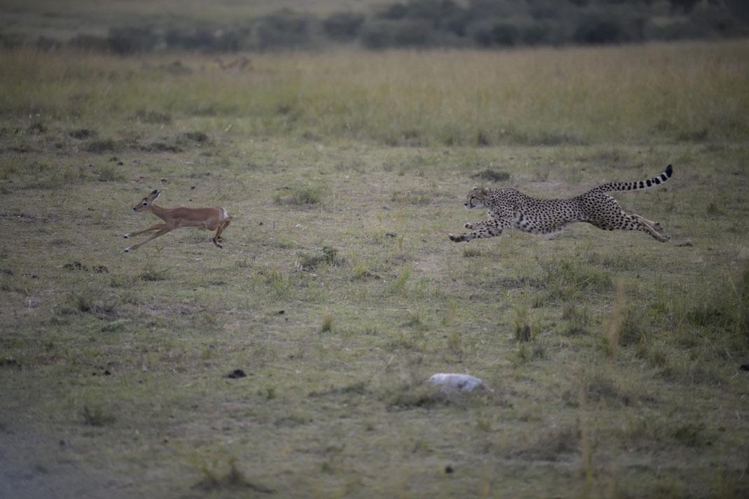 Geparden Jagd in der Masai Mara, Kenia fotografiert Uwe Skrzypczak