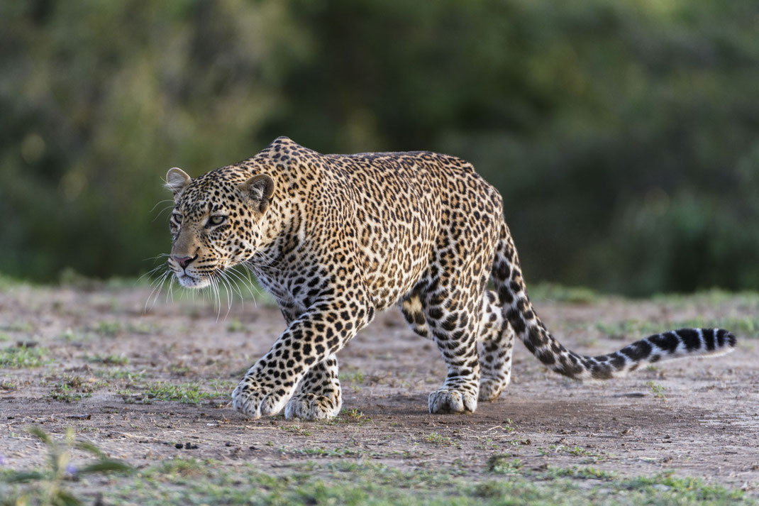 Leopard Masai Mara Kenia