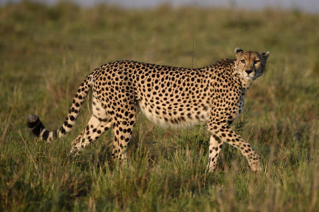 Geparden in der Masai Mara, Kenia fotografiert Uwe Skrzypczak